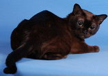 Sable Contemporary Burmese