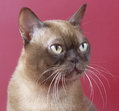 Champagne Contemporary Burmese