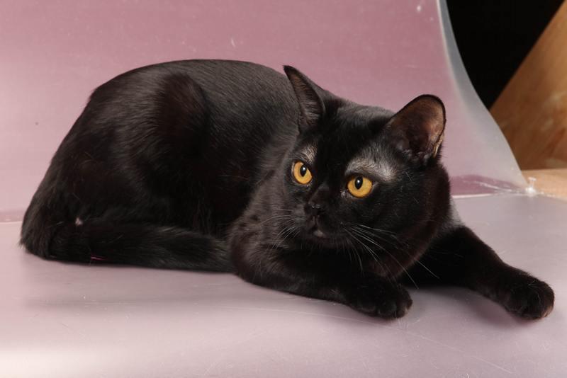 Gray burmese cat