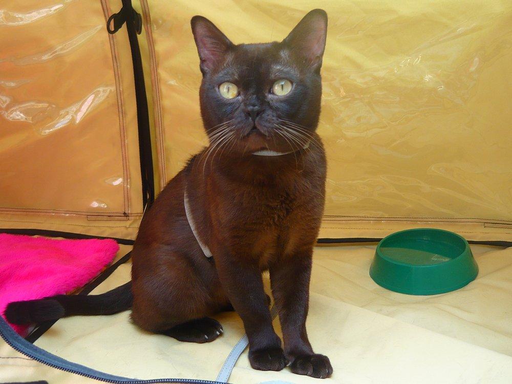 бурма котенок фото