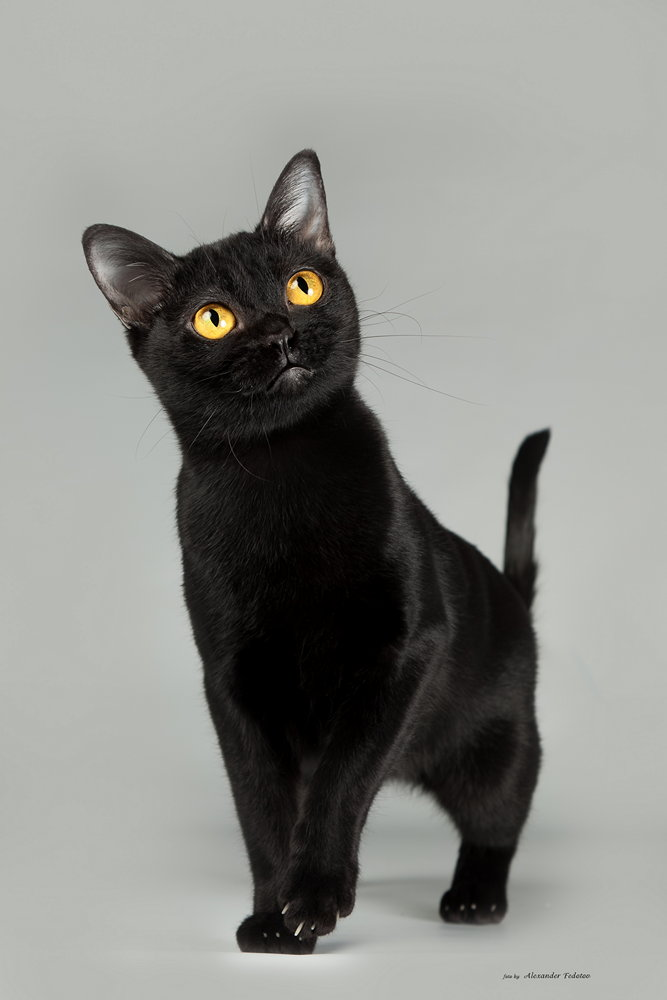 кошки бомбейские фото