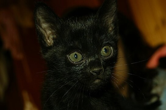 bombay-kitten-boston-morgana-01