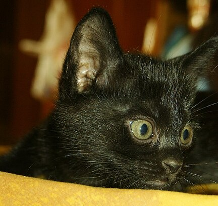 bombay-kitten-boston-morgana-02