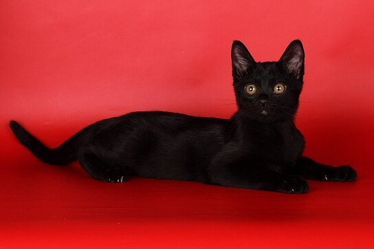 bombay-kitten-boston-morgana-0908