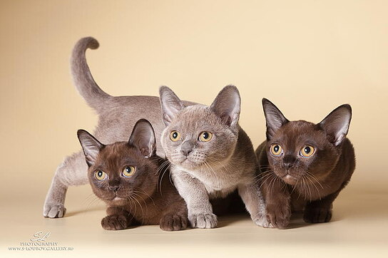 0-lubov-burma-kittens-dex-mary-01