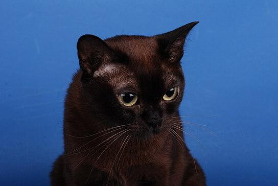 Бурманская кошка Wild Angels Konigin Sonne.  Image 1 - DSC_0010.jpg.  Современная американская бурма GC Brenwood...